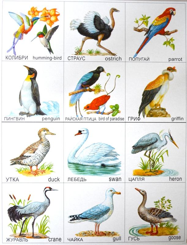 водоплавающей птицы картинки с названиями стал